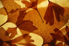 Ginkgo leaves texture Stock Photography
