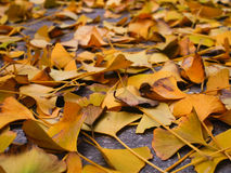 Ginkgo leaves. Ginkgo tree leaves fall on ground Royalty Free Stock Photography
