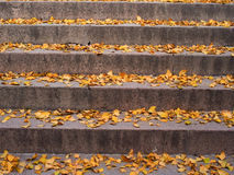 Ginkgo leaves. Ginkgo tree leaves fall on stone steps Stock Image