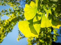 Ginkgo Leaves Turning from Green to Yellow Royalty Free Stock Images