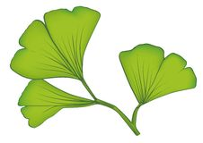 Ginkgo leaves vector Stock Photography