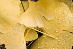 Ginkgo leaves with waterdrops. Fallen yellow leaves of Ginkgo with drops of water in the sun Royalty Free Stock Photos