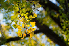 Ginkgo leaves, Royalty Free Stock Image