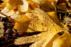 Ginkgo leaves yellow with water drops. Close-up of Ginkgo leaves lying outside in a garden with water drops on it, sparkling in the soft sunlight at fall Royalty Free Stock Photography