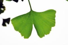 Ginkgo liść z białym backgound Zdjęcie Royalty Free