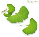 Ginkgo liście,  Zdjęcia Stock