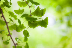 Ginkgo in the Light. Soft focused fresh green leafs of a Ginkgo tree Royalty Free Stock Photography
