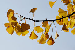 Ginkgo - maidenhair tree Royalty Free Stock Images