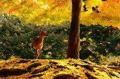 Ginkgo och hjortar Arkivfoton