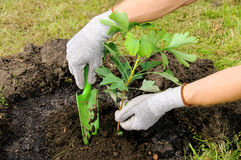 Ginkgo planting Stock Photo