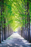 Ginkgo roads Stock Images