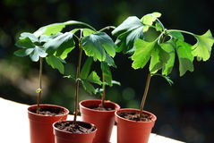 Ginkgo seedlings Stock Photography