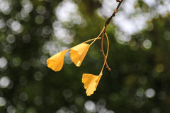 The ginkgo in sichuan university, china Stock Image