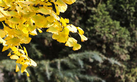 The ginkgo in sichuan university, china Royalty Free Stock Photos