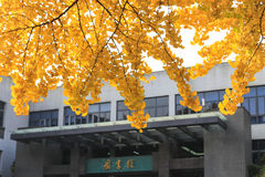 The ginkgo in sichuan university, china Stock Images