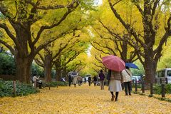 The Ginkgo street avenue in Meiji Jingu Gaien Park stock images