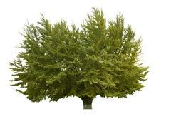 Ginkgo tree Royalty Free Stock Image