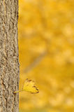 Ginkgo tree in an autumn day Royalty Free Stock Photography