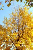 Ginkgo tree Royalty Free Stock Photos