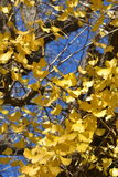 Ginkgo tree stock image