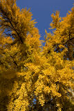 Ginkgo Tree in Autumn Stock Image