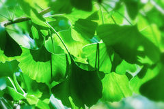 Ginkgo Tree Royalty Free Stock Images