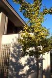 Ginkgo. A ginkgo tree in Beijing Jiaotong University Stock Photo