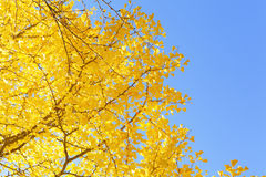 Ginkgo tree Stock Photography