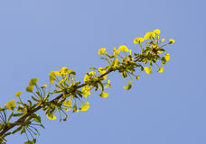 Ginkgo tree branch. Over blue sky Stock Photo