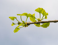 Ginkgo tree branch Royalty Free Stock Image