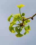 Ginkgo tree branch Stock Photo