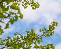 Ginkgo tree branch. Over blue sky Royalty Free Stock Image