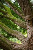 Ginkgo tree closeup. Massive mossy branches of two hundred years old ginkgo tree Stock Photo