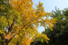Ginkgo tree in the fall in a college campus in china Royalty Free Stock Photography