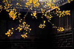 The ginkgo tree in front of the old house. Golden yellow Stock Photo
