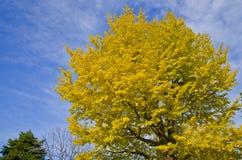 Ginkgo Tree Royalty Free Stock Photography