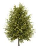 Ginkgo tree isolated on white Stock Image