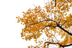 Ginkgo tree on white background. Ginkgo tree in the Japanese countryside  Isolated on white background Stock Photo