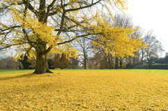 Ginkgo tree Stock Images