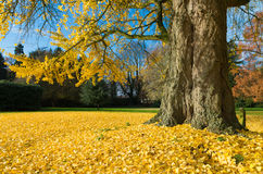 Ginkgo tree Royalty Free Stock Photography