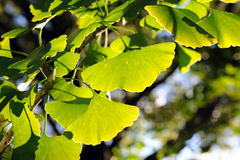 Ginkgo Tree Leaves Stock Photo