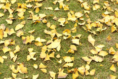 Ginkgo tree leaves on grassplot Royalty Free Stock Images