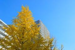 Ginkgo tree-lined bij Hikarigaoka-park in Tokyo Royalty-vrije Stock Afbeelding