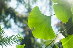 Leaves of ginkgo biloba visible against the light stock photos