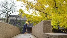 Ginkgo tree sweeping the ground stock photography