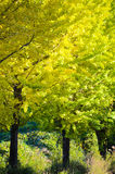 Ginkgo tree on the way to become the yellow leaves Royalty Free Stock Photos