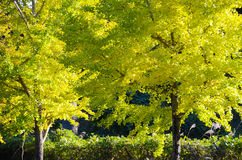 Ginkgo tree on the way to become the yellow leaves Stock Photography