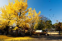 Ginkgo tree at autumn, Kyoto. Ginkgo tree with yellow autumn leaf with many flying birds at Toji temple in sunny day, Kyoto, Japan Stock Image