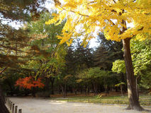 Ginkgo Tree with the Yellow Autumn Leaves Beside the Walkway in Public Park of Seoul Royalty Free Stock Photography
