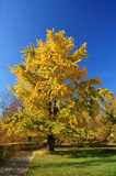 Ginkgo tree Stock Photo